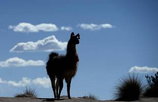 Llamas go on the lam in US, Twitter explodes
